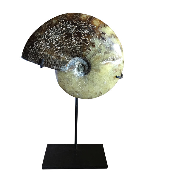 Madagascar Single Ammonite