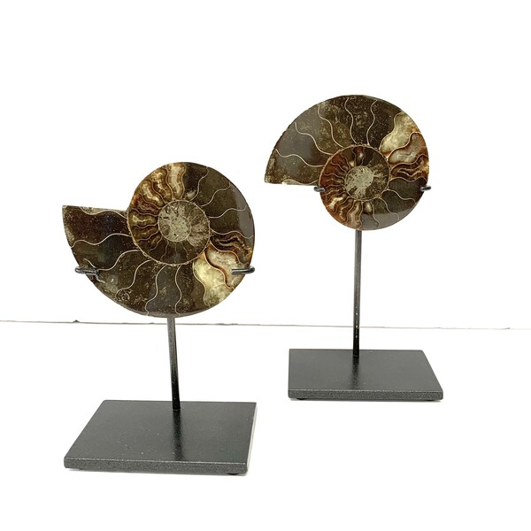 Prehistoric Madagascar Pair of Ammonites on Stands