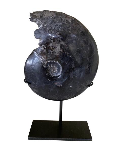 Prehistoric Madagascar Single Ammonite on Stand
